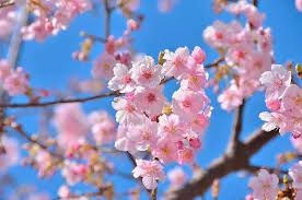 Almonds_Blooming
