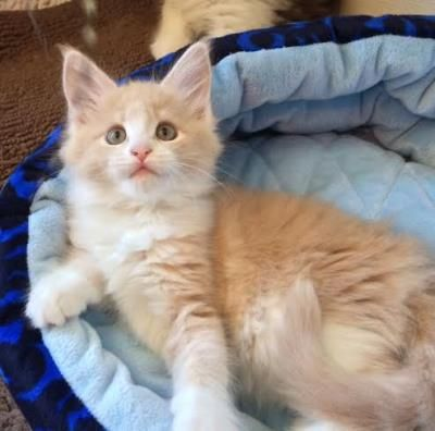 orange maine coon kittens for sale in michigan