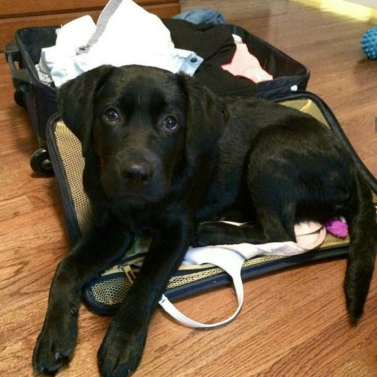6667 best labrador retriever images on pinterest animals for Dog house for labrador retriever