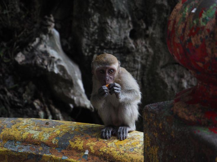 KL バトゥ洞窟の猿