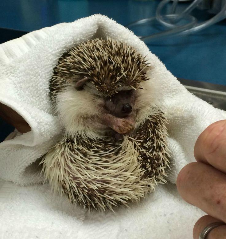 Piccolo riccio sotto anestesia per un controllo ai denti - http://www.ahboh.it/riccio-veterinario-anestesia/
