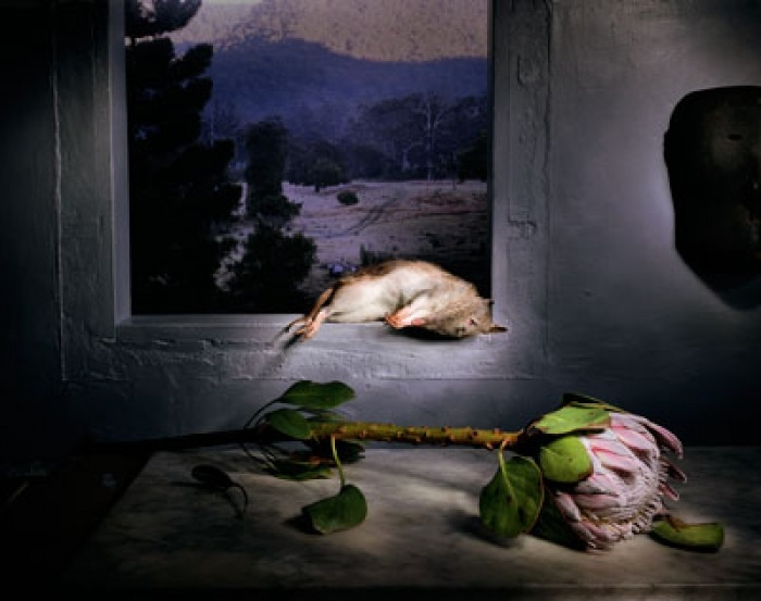 Marian Drew, Marsupial with Protea, Archival Pigment on Hahnemule Cotton Paper, 90 x 110 cm