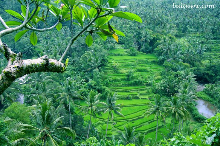 Rice terraces and coconut palms.