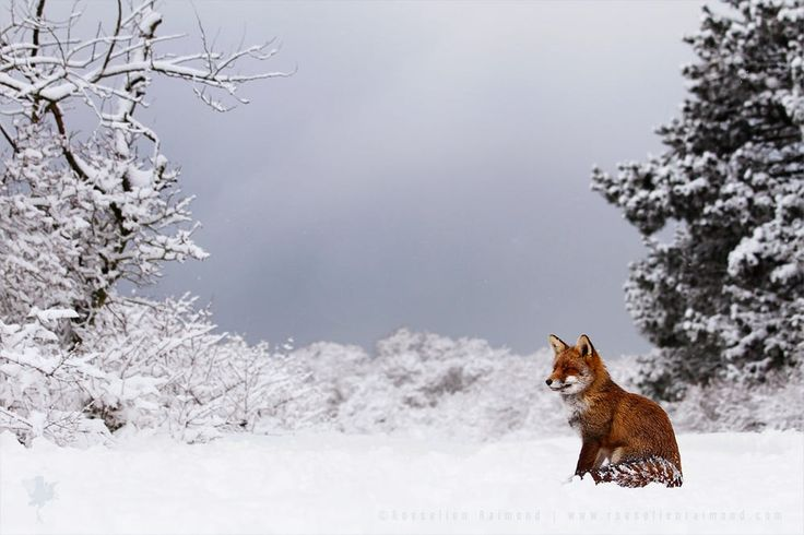 "<strong> Red Fox just after a heavy Snow Shower</strong>Well...I love foxes and I adore snow, so....needless to say this made my day :) <a href=""http://www.roeselienraimond.com"">roeselienraimond.com</a> 