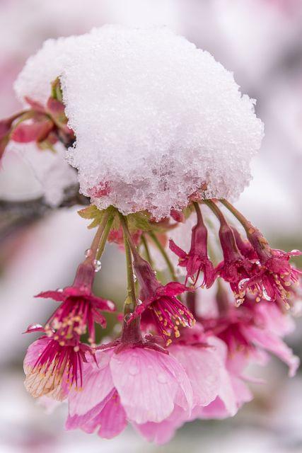 春を感じるさくらとなごり雪のイメージ。