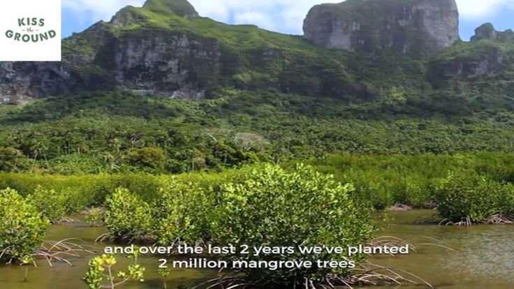 Mangrove Trees and carbon sequestration - Kiss The Ground