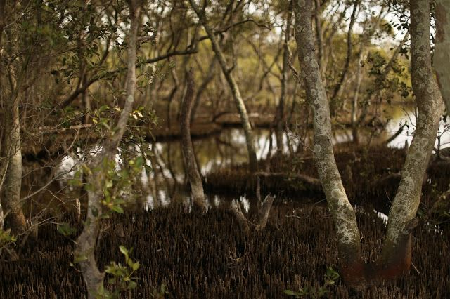 mangroves, queensland