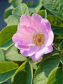 425103 - Apple rose (Rosa villosa)