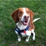 Copper - a beagle mix