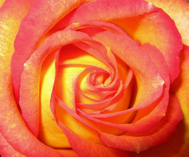 17 Best images about Rose tattoo on Pinterest | Yellow ...