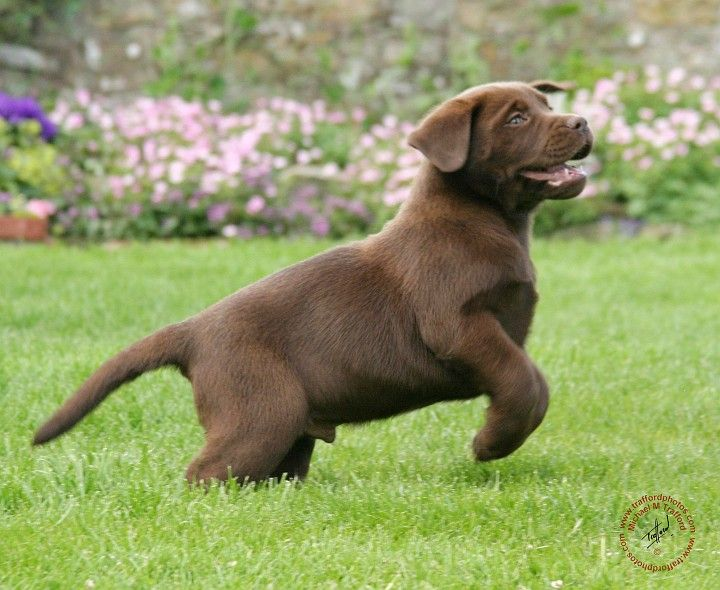 chocolate lab puppy   ...........click here to find out more     http://googydog.com