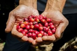 Learn about Costa Rica's coffee industry