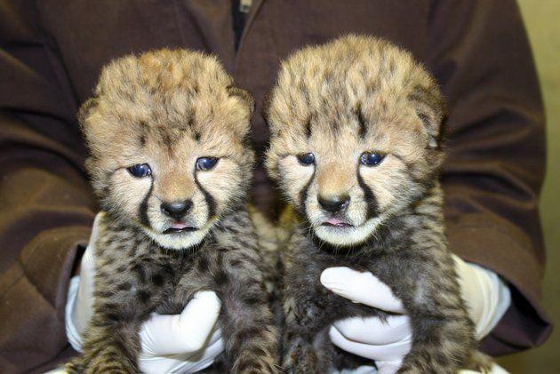 Cheetah Cubs at National …