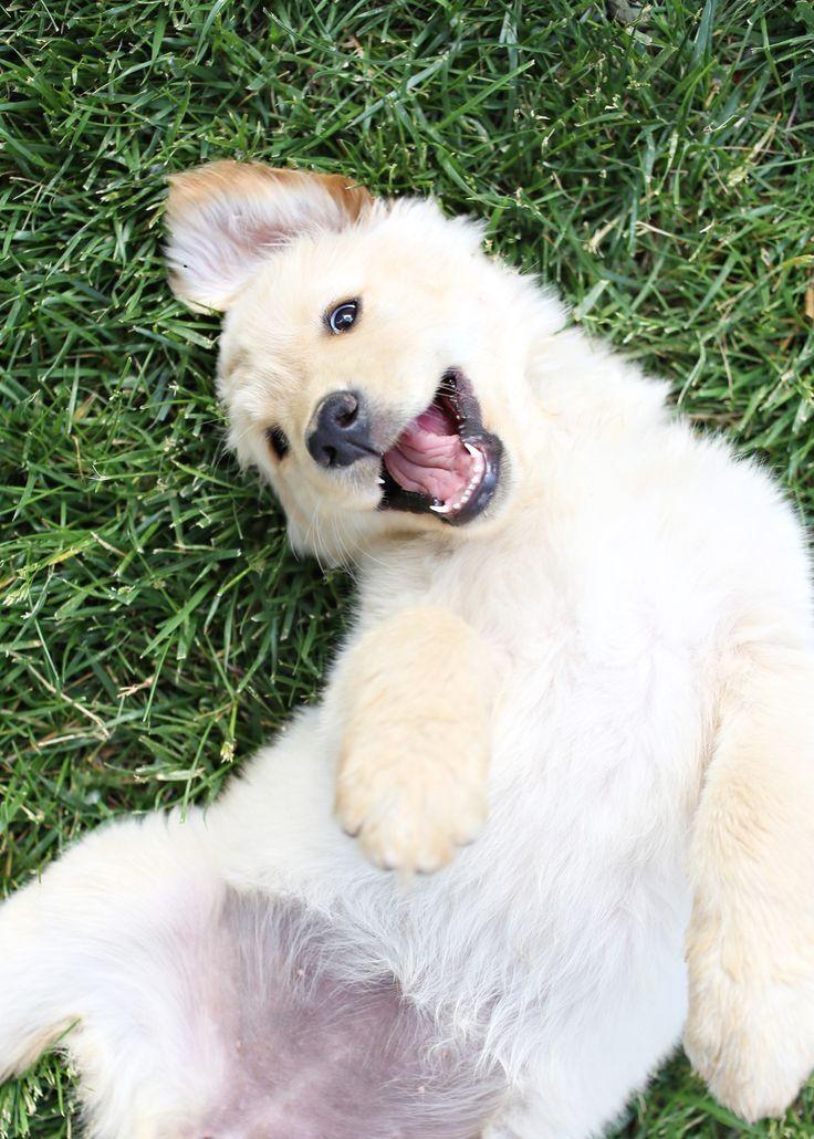 Golden #Retriever puppy... @Kaufmann's Puppy Training