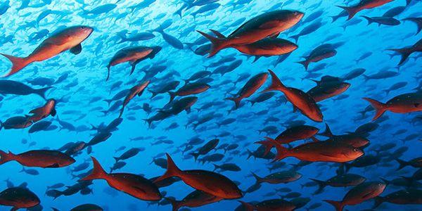 un mattino un folto gruppo di pesci azzurri si imbatté in un pesciolino rosso...
