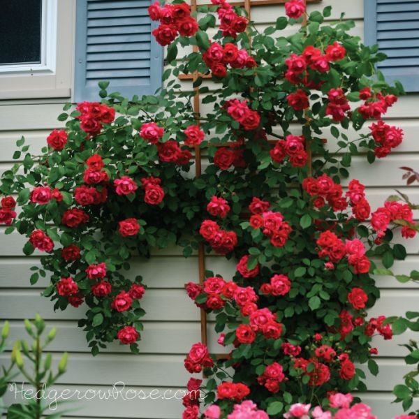 Old Fashioned Climbing Roses Nz