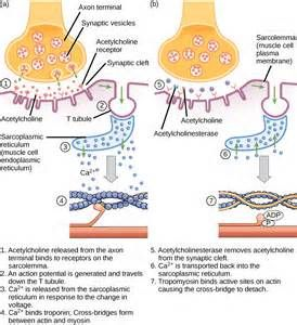 to receptors on the muscle cell plasma membrane. Step 2: An action ...