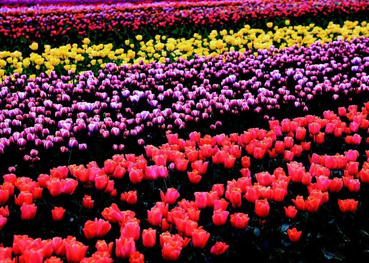Foto gratis: Flores, Tulipanes, Campo - Imagen gratis en Pixabay ...