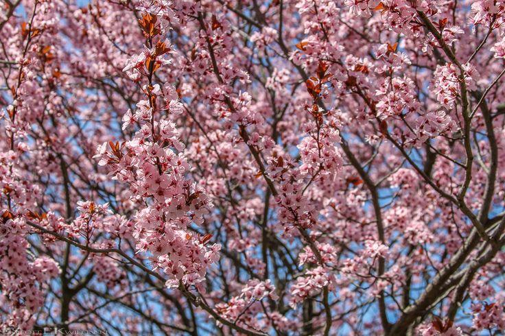 Pink Dogwood Tree  #Dogwood #DogwoodTree #Tree #PinkDogwood #Pink #Petal #Petals #PinkPetals #Bloom #Spring #SpringBloom #Pennsylvania