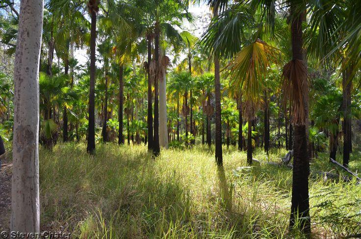 Carnarvon Palms