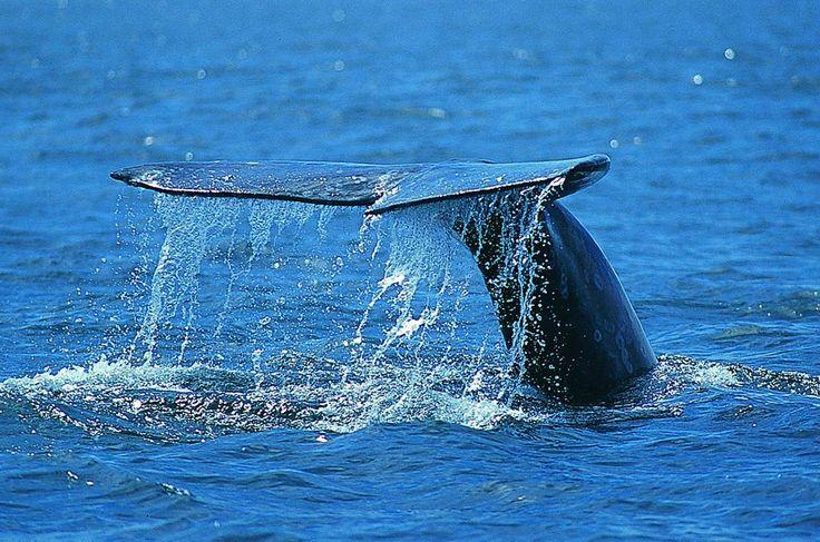 Visita a la ballena gris en Baja California Sur