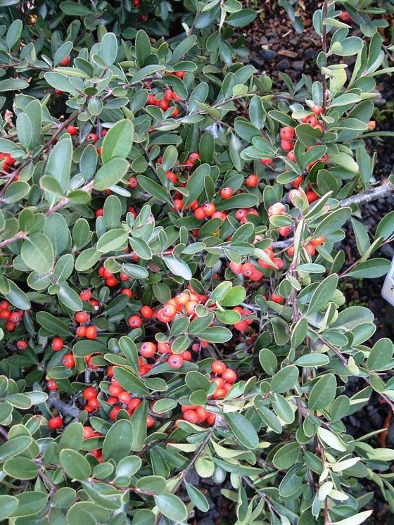 Red Elf Pyracantha Compact Evergreen Shrub With Small Flowers In Spring And Berries