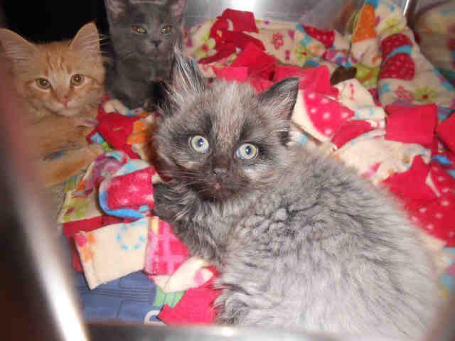 Persian cat breeders pittsburgh pa