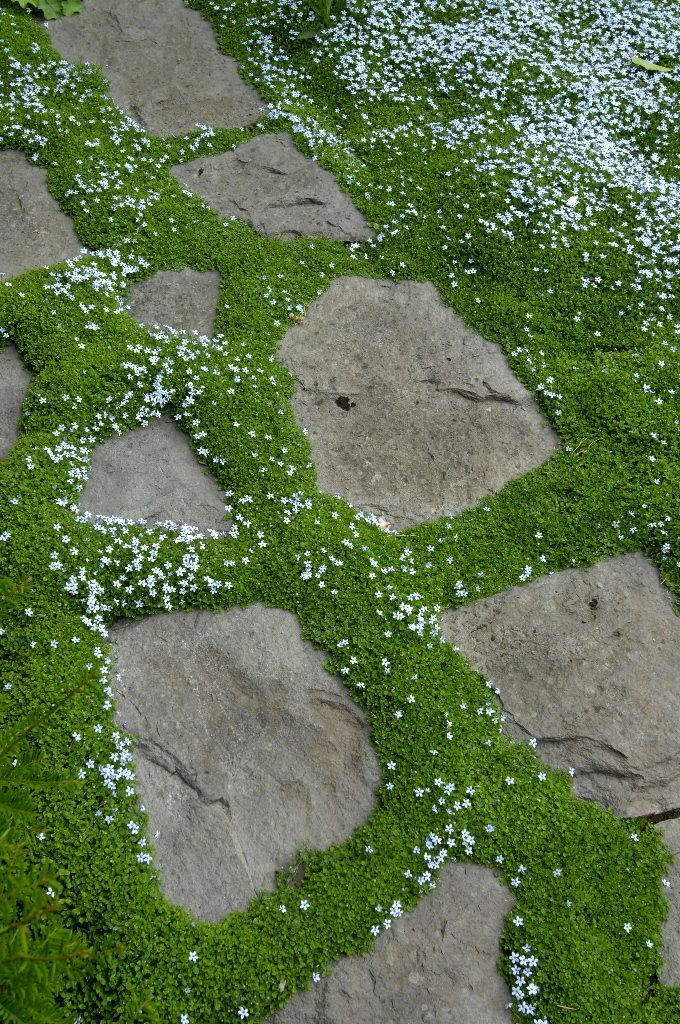 Blue Star Creeper Thyme surrounding pavers. I love the tiny little, little flowers!