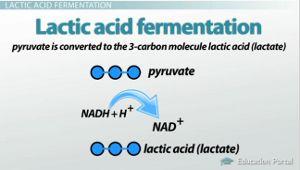 lactic acid vs ethanol fermentation