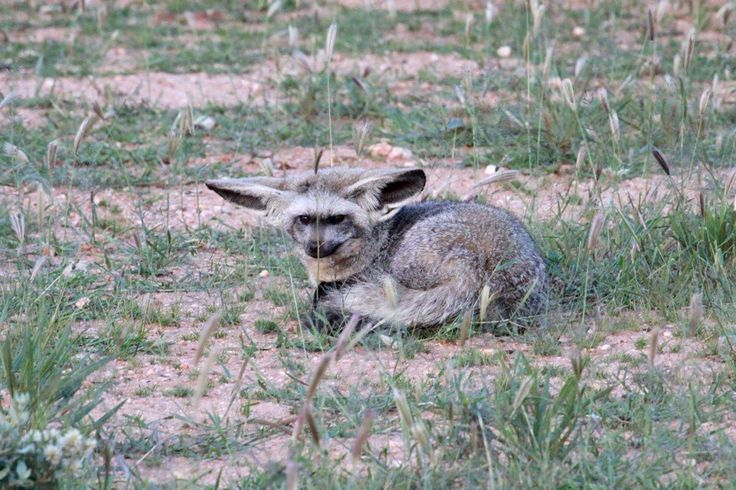 #BatEaredFoxThe bat eared fox.  The Bat-eared fox (Otocyon megalotis) belongs to the family Canidae and is named for its large, bat-wing shaped ears, which can grow up to 14 cm in length. The large ears facilitate to locate their prey and also play a crucial role in communication purposes.  https://okonjima.wordpress.com/2015/03/07/small-but-impressive-the-bat-eared-fox/