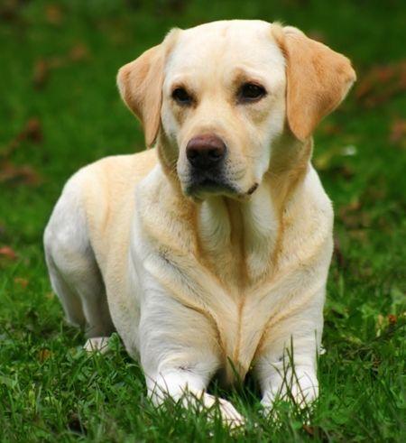 Labrador Retriever Blanco en el Campo