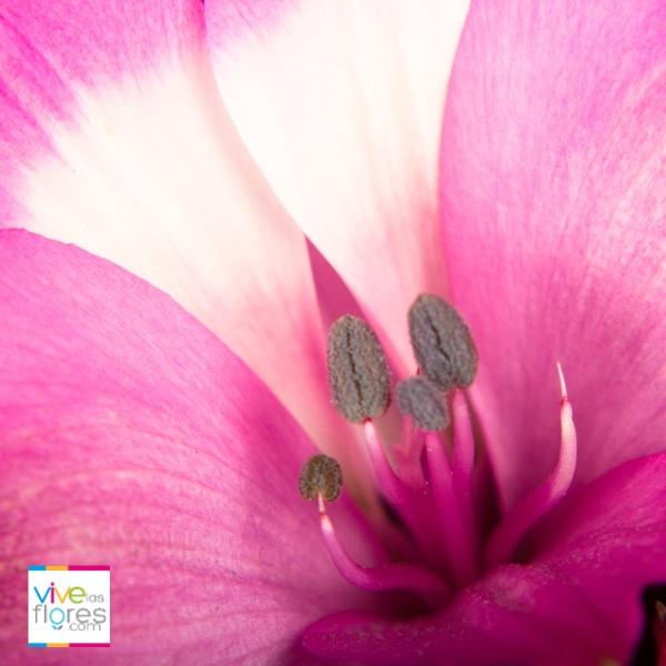 Alstroemerias bicolor. Colores sorprendentes a tu alcance. Encuéntralas en vivelasflores.com