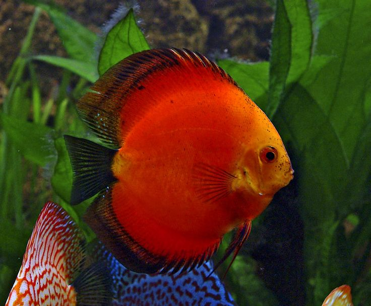 17 best images about beautiful discus on pinterest for Discus fish price