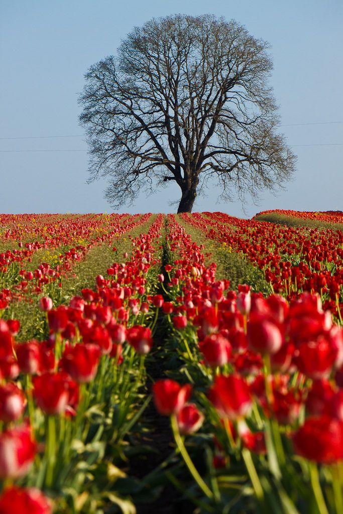 tulip fields Woodburn Oregon 1353 best
