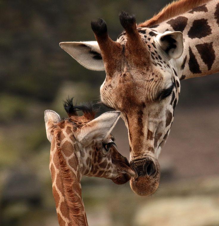 giraffes                                                                                                                                                                                 More