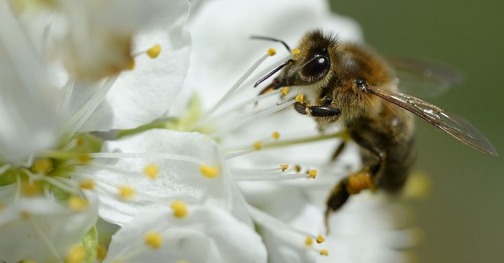 Abelha colhe pólen de flor, perto da cidade de Koenigschaffhausen, na Alemanha