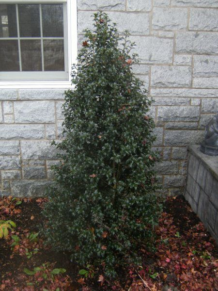 1000 Images About Small Pyramidal Evergreens On Pinterest