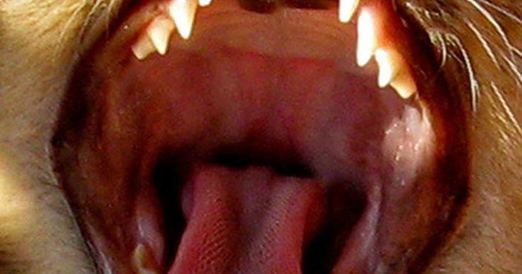 Cómo saber la edad de un gato. Cuando encuentras un gato callejero, puede ser difícil determinar su edad, especialmente si ya tiene sus dientes permanentes. Los incisivos aparecen entre la segunda y la cuarta semana de vida de los gatitos. Sus caninos salen cuando tienen de 3 a 4 semanas de edad y sus premolares aparecen entre la cuarta y la sexta semana. En la octava semana, ...