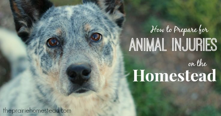 How to Prepare for Animal Injuries on the Homestead on The Prairie Homestead at http://www.theprairiehomestead.com/2014/01/homestead-animal-injuries.html