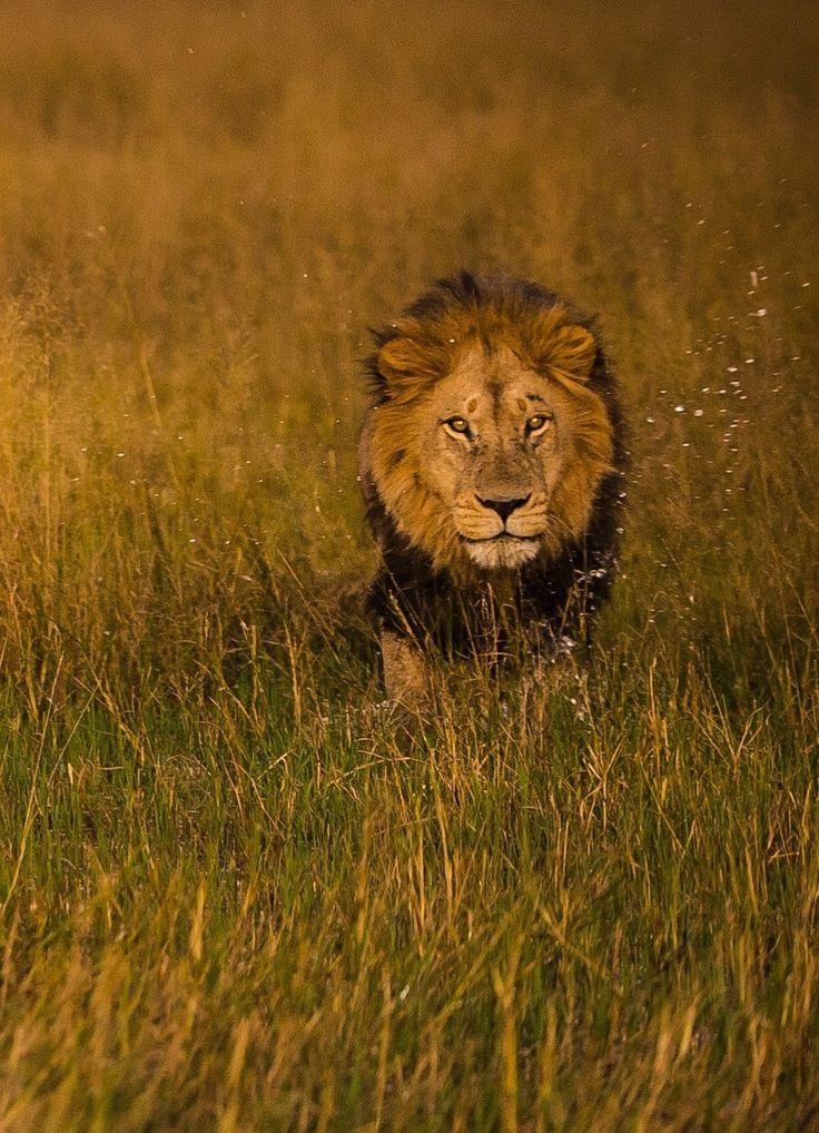 Les 90 meilleures images du tableau le roi des animaux sur - Animaux du roi lion ...
