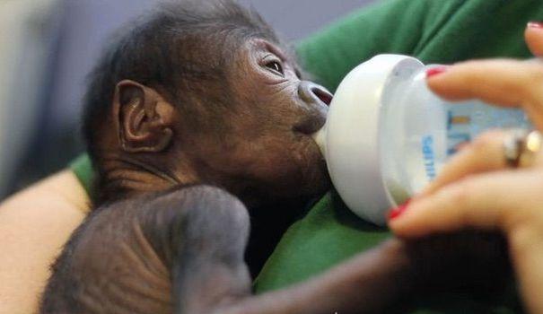 Un bébé gorille est né le 12 février au zoo de Bristol au Royaume-Uni. Le bébé femelle pesait à peine 1kg à sa naissance qui a nécessité une césarienne. Les vétérinaires sont désormais optimistes pour l'avenir de ce gorille des plaines occidentales, une espèce en danger de disparition.