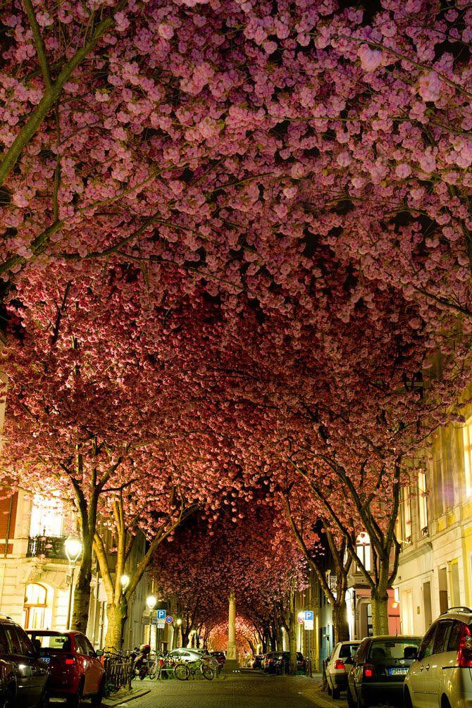 Улица в Бонне, Германия  Эта улочка в Бонне всего на две недели в году превращается в одну из самых романтичных аллей из цветущей вишни. Здесь довольно оживленный траффик, но фотографу удалось поймать тот самый момент, когда в округе не оказалось никого.