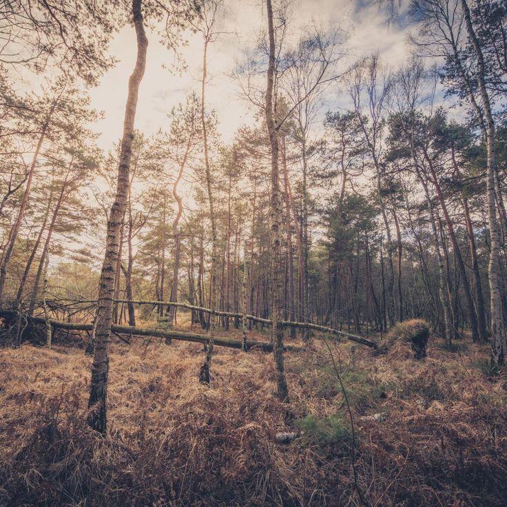 Bild 13 - Zadlitzbruch in der Dübener Heide bei Torgau | © Michael Eichhorn #zadlitzbruch #dübener_heide #naturschutzgebiet #sachsen #saxony #ausflugsziel #torf #moor #hochmoor #wandern #dübenerheide #duebenerheide #torgau #baddueben #baddüben #wald #sumpf #sumpfgebiet #natur #naturschutz #reservat #biosphäre #biosphere #farn #naturpark #falkenberg #trossin #dresden #nordsachsen #leipzig #sehenswürdigkeit #ziel #sonnentau #sumpfdotterblume #kranich