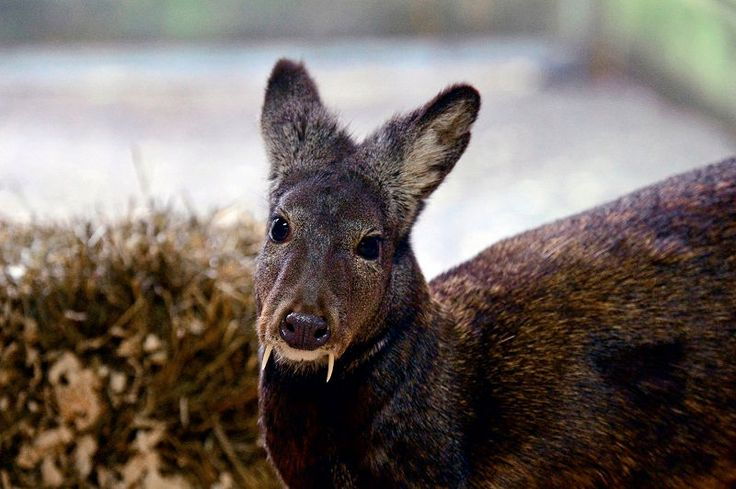 Rare fanged musk deer were spotted in Afghanistan for the first time in 60 years.