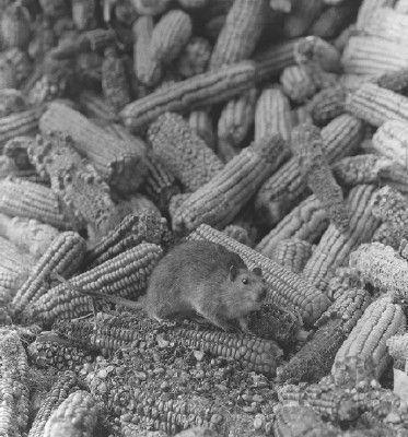 Pictures of Bubonic Plague: Bubonic Plague Pictures: Norway Rat