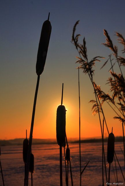Sunset in the Cattails