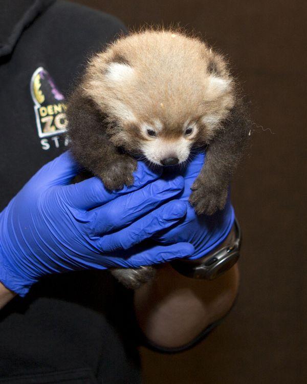 Детеныши малой панды Красная панда, панда, детеныш, длиннопост