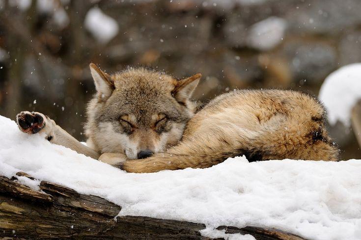 ниндзя это сонный волк картинки молодые них