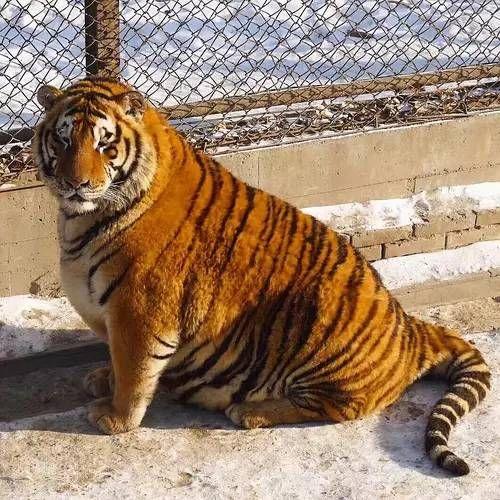 Harbin Siberian tigers http://ift.tt/2kCUu7Y