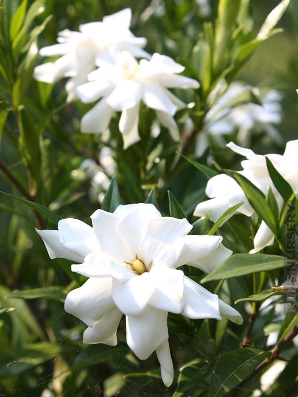 Cold Hardy Gardenia Frost Proof With Images Flower Landscape
